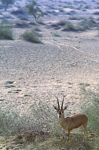 Indian gazelle (Gazella bennetti) Thar desert, Rajasthan, India  -  Laurent Geslin