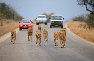 Pride of Lions walking along road followed by tourist vehicles, Kruger National Park - Laurent Geslin