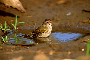 Olive sparrow bathing {Arremonops rufivirgatus} Texas, USA.  -  Tom Vezo