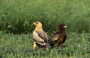 Greater spotted eagle {Aquila clanga} normal and pale form {Aquila clanga fulvescens} Oman - Hanne & Jens Eriksen