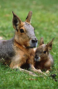 Patagonian cavy / mara with young {Dolichotis patagonum} captive, from Argentina - Rod Williams