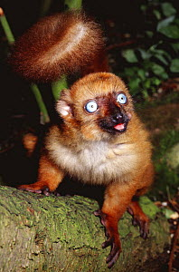 Sclater's black lemur {Eulemur macaco flavifrons} captive, from Madagascar  -  Rod Williams