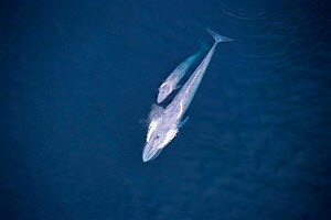 Aerial view of Blue whale + calf {Balaenoptera musculus} Sea of Cortez, Mexico  -  Mark Carwardine