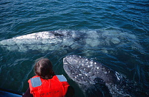 Tourists in close contact with friendly Grey whales, Baja California, Mexico {Eschrichtus robustus}  -  Mark Carwardine