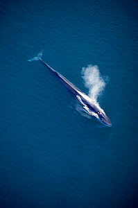 Aerial view of Fin whale spouting, Sea of Cortez, Mexico {Balaenoptera physalus} - Mark Carwardine