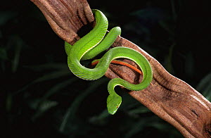 White lipped palm viper {Trimeresurus albolabris} captive, from Asia - Mark Carwardine