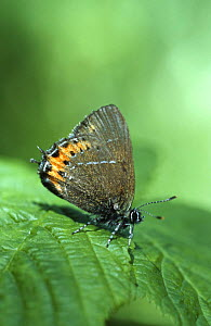 Black hairstreak butterfly {Satyrium pruni} UK  -  Robin Chittenden
