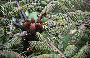 Tree fern with fronds yet to unravel (Cyathea imrayana) Martinique, Caribbean  -  Jean E. Roche