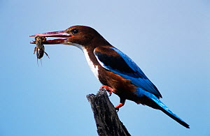 White breasted kingfisher (Halcyon smyrnensis) with Mole cricket prey, Israel - Roger Powell