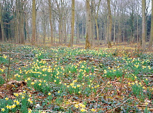 Wild daffodils flowering {Narcissus pseudonarcissus} in woodland, Gloucestershire  -  Will Watson