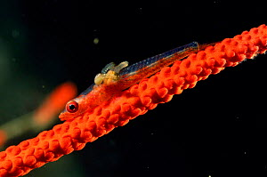 Whip coral dwarf goby with copepod parasites {Bryaninops youngei} Sulawesi  -  Solvin Zankl