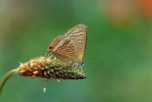 Long tailed blue butterfly {Lampides boeticus} UK, threatened - Robin Chittenden