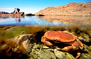 Edible crab in tide pool split level {Cancer pagurus} Brittany France  -  Christophe Courteau