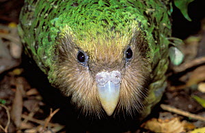 Kakapo portrait {Strigops habroptila} captive Maud Is New Zealand. Did you know? Kakapos are one of the longest lived birds in the world with a average life expectancy of 90 years. - Christophe Courteau