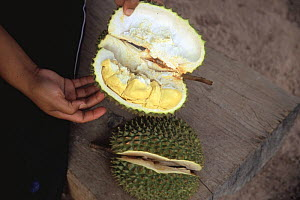 Durian fruit for sale in market {Durio zibethinus} Thailand  -  Bengt Lundberg