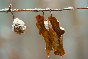 European beech nut and leaves in winter {Fagus sylvatica} Europe  -  Philippe Clement