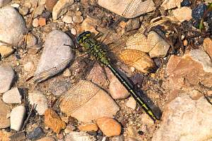 Club tailed dragonfly {Gomphus pulchellus} Belgium  -  Philippe Clement