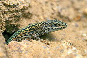 Bocage's / Iberian wall lizard {Podarcis bocagei} Spain  -  Philippe Clement