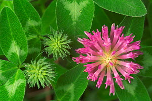 Zigzag clover flower {Trifolium medium} Belgium  -  Philippe Clement