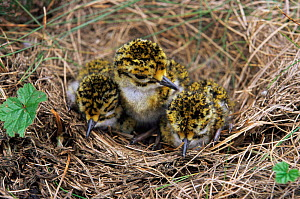 Golden plover chicks in nest {Pluvialis apricaria} Derbyshire, UK.  -  Paul Hobson