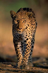 Leopard walking, portrait {Panthera pardus} Kruger National Park, South Africa  -  Laurent Geslin