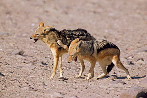 Black backed jackal, submission {Canis mesomelas} Skeleton Coast, Namibia - Laurent Geslin