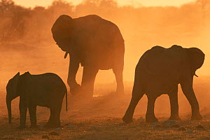 African elephants silhouetted at sunset {Loxodonta africana} Caprivi strip, Namibia.  -  Laurent Geslin