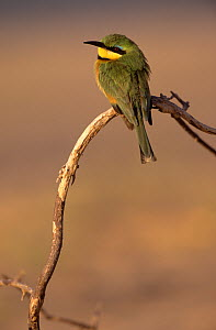 Little bee-eater (Merops pusillus) perched, Namibia - Laurent Geslin