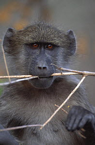 Chacma baboon chewing stick (Papio ursinus) Caprivi strip, Namibia  -  Laurent Geslin
