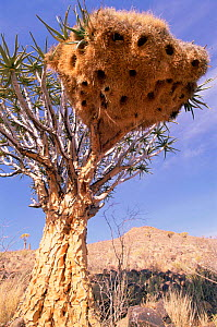 Sociable weaver {Philetairus socius} nest colony in Quiver tree, Namibia - Laurent Geslin