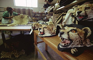 Taxidermist shop with stuffed Cheetah head hunting trophies, Namibia  -  Laurent Geslin