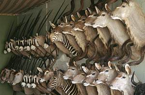 Taxidermist shop with Kudu, Oryx, Zebra and Eland hunting trophies, Namibia. 2004  -  Laurent Geslin