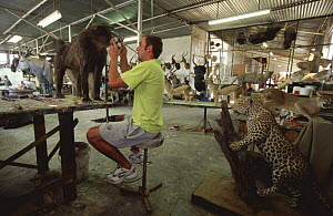 Taxidermist shop with stuffed animals and man working on Baboon, Namibia. 2004  -  Laurent Geslin