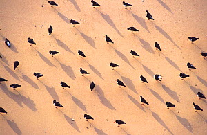 Oystercatchers on beach, viewed from above {Haematus ostralegus} Cornwall, England - Laurent Geslin