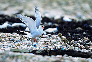 Common tern with chick {Sterna hirundo} UK - STEVE KNELL