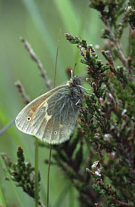 Large heath butterfly {Coenonympha tullia} Scotland - STEVE KNELL