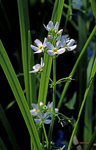 Water violet (Hottonia palustris) UK  -  Adrian Davies