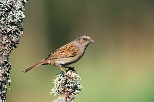 Dunnock {Prunella modularis} UK  -  Mike Wilkes