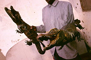 Stuffed West African dwarf crocodile {Osteolaemus tetraspis} for sale, Republic of Congo - Jabruson