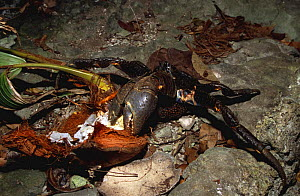 Coconut / robber crab (Birgus latro) feeding on coconut, Vanuatu, Melanesia - Nick Turner