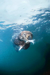 Sea otter underwater feeding on squid Monterey Bay captive {Enhydra lutris}  -  DOC WHITE