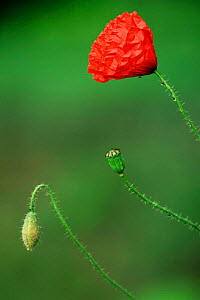 Common poppy bud, flower and seedhead {Papaver rhoeas} Belgiu  -  Bernard Castelein