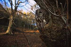 Tawny owl {Strix aluco} roosting in a Yorkshire woodland, UK - Paul Johnson