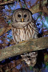 Barred owl in tree {Strix varia} Corkscrew Swamp Sanctuary Florida USA. - Rolf Nussbaumer