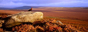 Red grouse {Lagopus lagpus scoticus} on rock overlooking moorland Scotland  -  Geoff Scott-Simpson