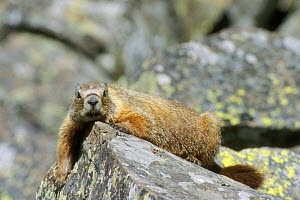 Yellow bellied marmot basking on rock {Marmota flaviventris} Yellowstone, USA  -  Philippe Clement