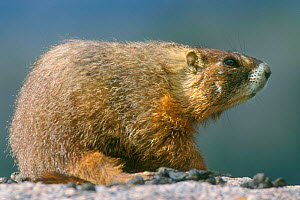 Yellow bellied marmot {Marmota flaviventris} Yellowstone, USA  -  Philippe Clement