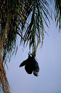 Hyacinth macaw hanging up-side-down in tree, Brazil {Andodorhynchus hyacinthinus} - Staffan Widstrand
