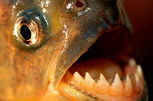 RF- Close up of Piranha teeth (Serrasalmus). Pantanal, Brazil. - Staffan Widstrand