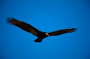 Lesser yellow headed vulture flying {Cathartes burrovianus} Brazil. - Staffan Widstrand